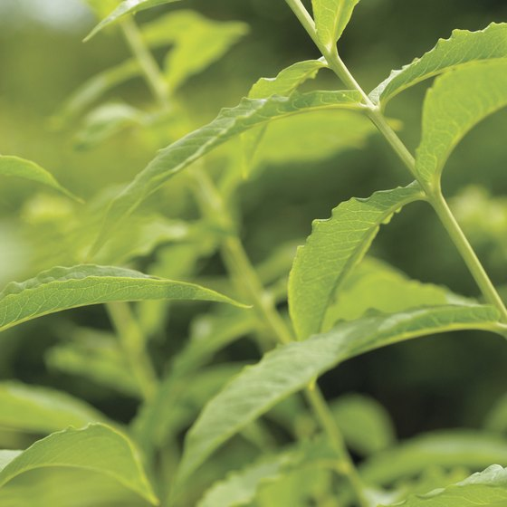 Spearmint tea may protect against DNA damage.
