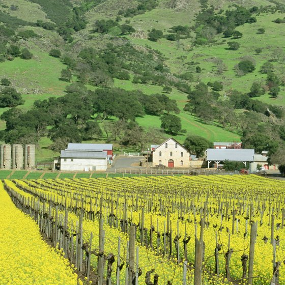 The vineyard in winter, painted with mustard grass