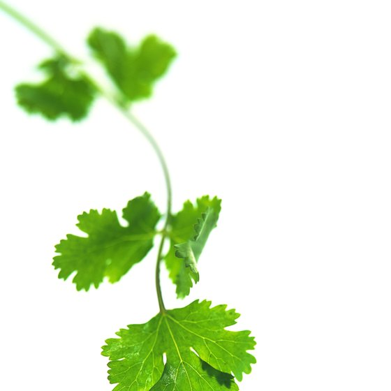 Parsley is a source of numerous health benefits.
