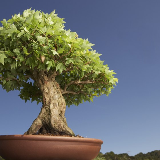 Bonsai has been practiced in Takamatsu since the Edo Period.