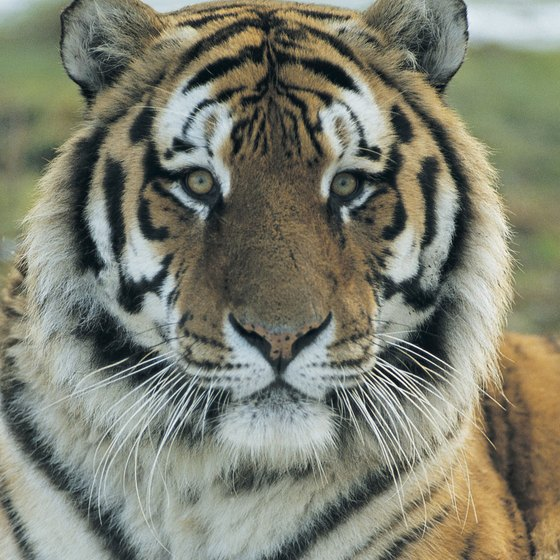 Check out the zoo's Siberian tiger.