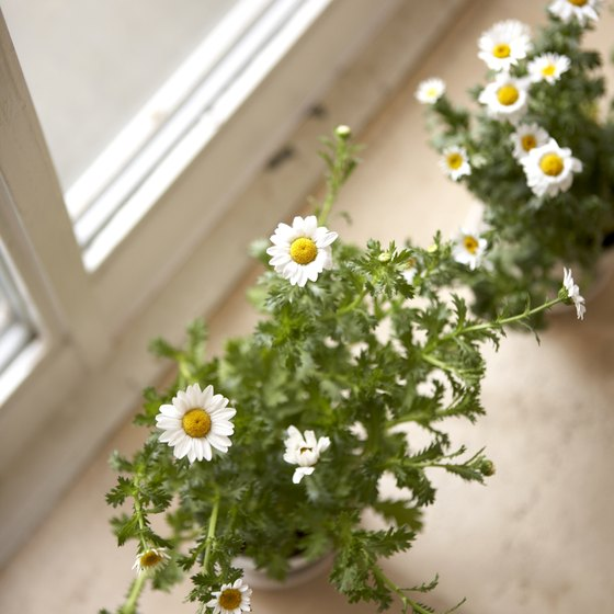 Feverfew contains melantonin, which may help ease jet lag.
