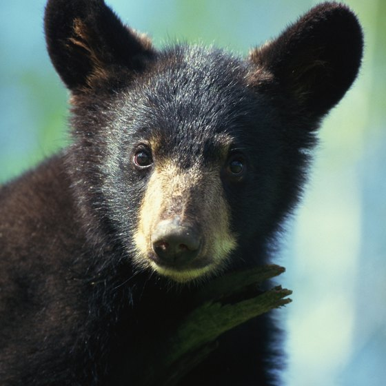 Campers in Minnesota's wilderness might encounter black bears.