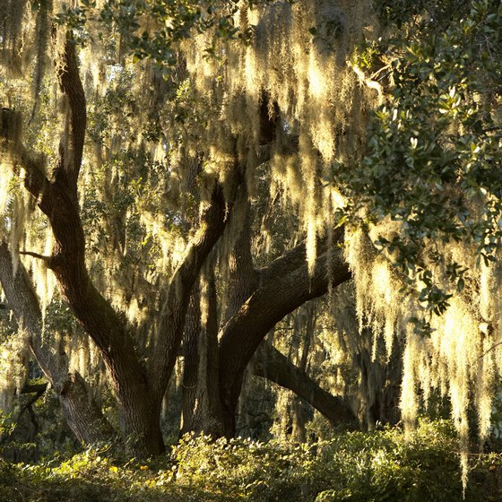 Spanish moss hangs from an oak tree on John's Island, South Carolina.