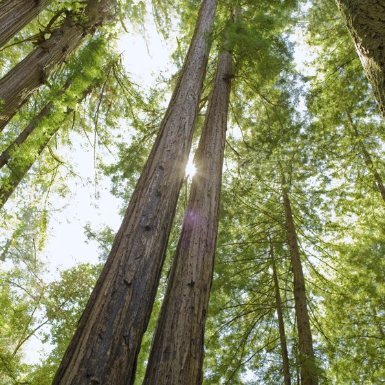 You'll find giant redwood trees on the northern California coastline.