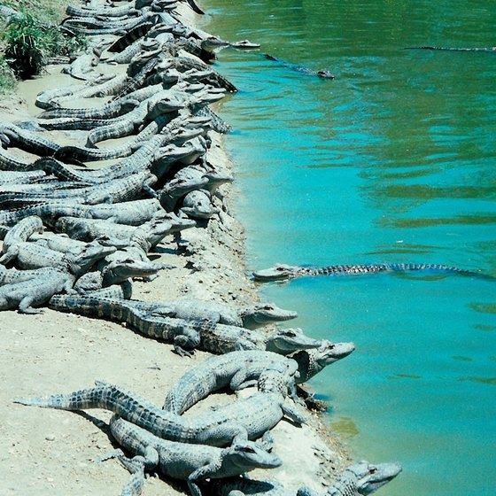 The best place to observe alligators is from one of Florida's many alligator parks.