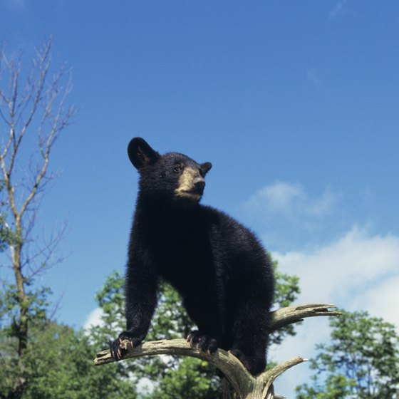Use bear-safe camping techniques in Payson.