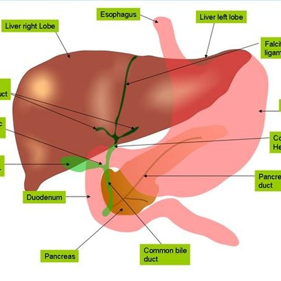 Signs & Symptoms of Cirrhosis of the Liver