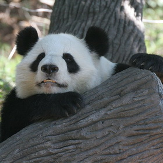 The giant panda exhibit is one of the most popular in Zoo Atlanta.