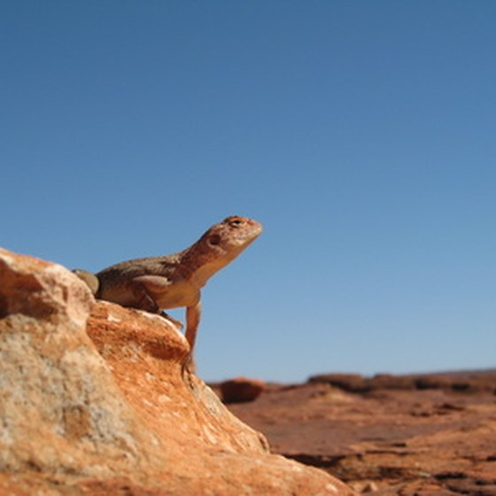The arid terrain of the Australian Outback is home to a host of desert-dwelling animals.