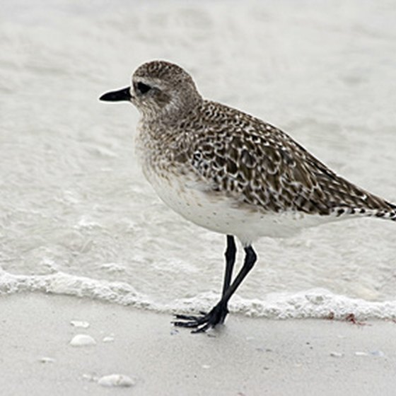 Watch sandpipers play in Rosemary Beach.