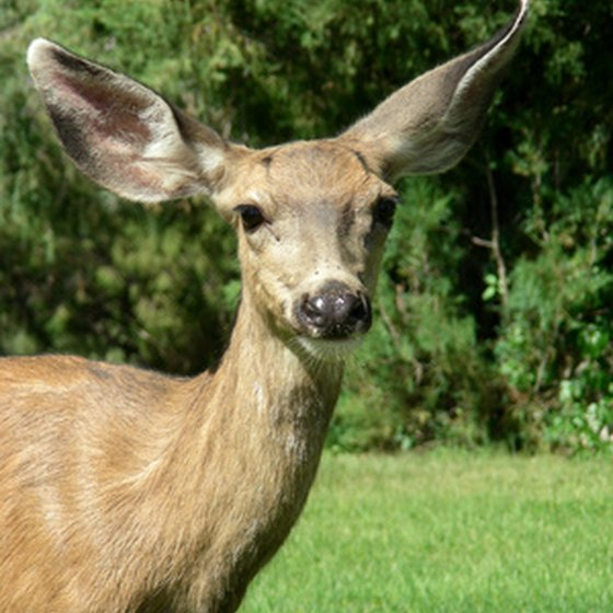 Mule deer sightings are common in the Wallow Lake area.