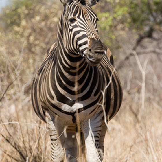 Kruger National Park is home to rare animals like the zebra.