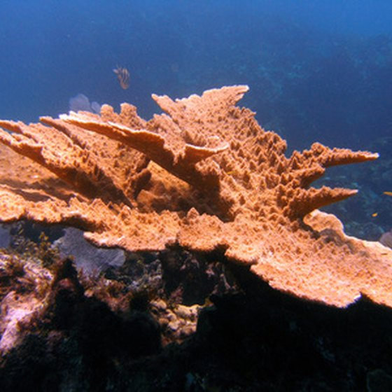 Caribbean conditions encourage the growth of gorgeous corals.