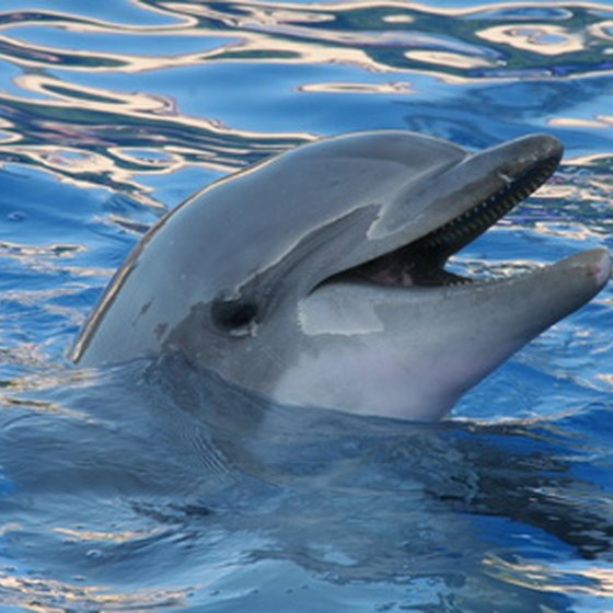 Dolphins are among the trained sea mammals that perform at Sea World.