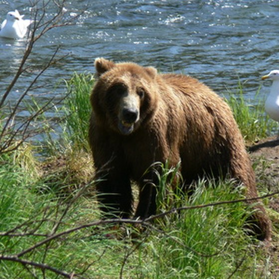 Alaska's brown bears weigh as much as 1,500 pounds.