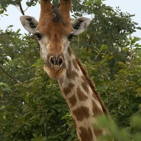 Glimpse a giraffe up-close when visiting the Fossil Rim Wildlife Center.