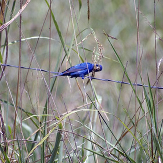 Idaho's state bird, the mountain bluebird, can often be seen while hiking in the Twin Falls area.