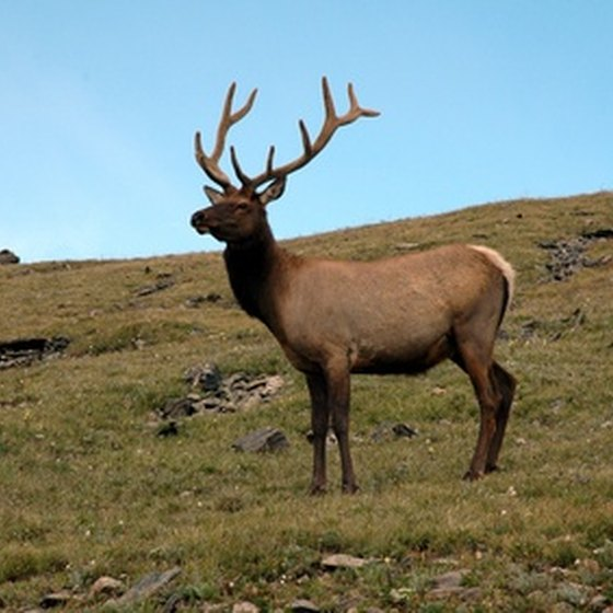 In addition to changing leaves, fall is the season for elk viewing.