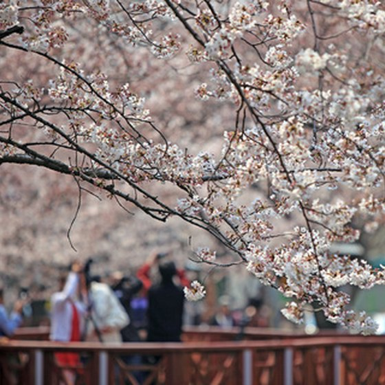 Washington swarms with tourists during the Cherry Blossom Festival.