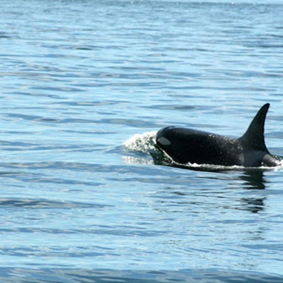 Puget Sound is home to pods of orca.