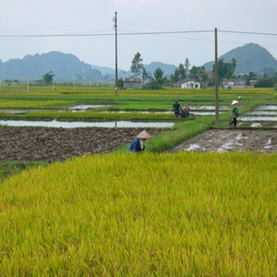 Rice fields are a common site for travelers visiting Cambodia and Vietnam.