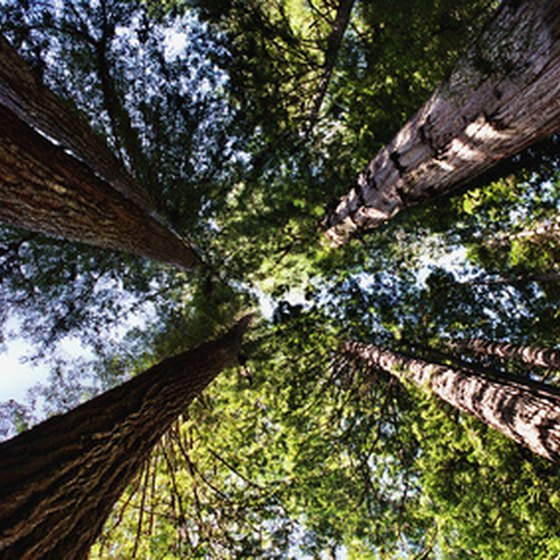 Some of the northern California coast is filled with giant redwoods.