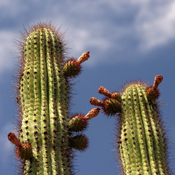 Saguaro cactus in Tucson, Arizona