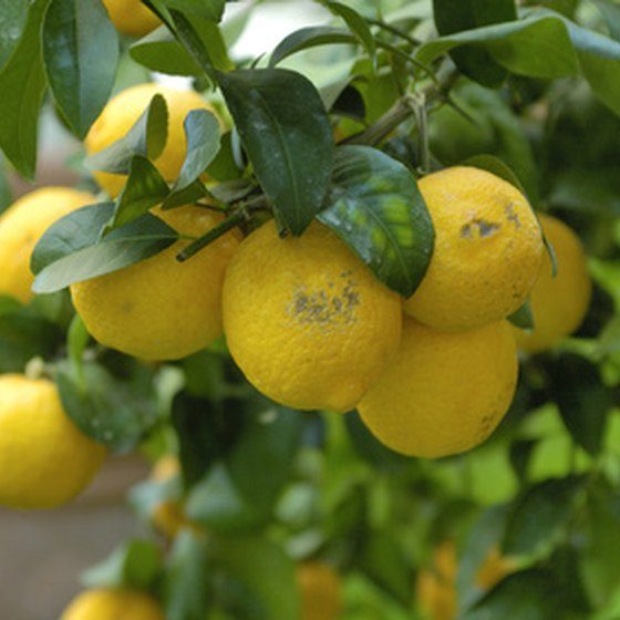 Lemons add their bright flavor to dishes in the sunny south