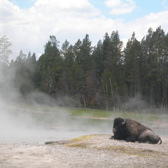 The bison in Yellowstone are quite accustomed to visitors.