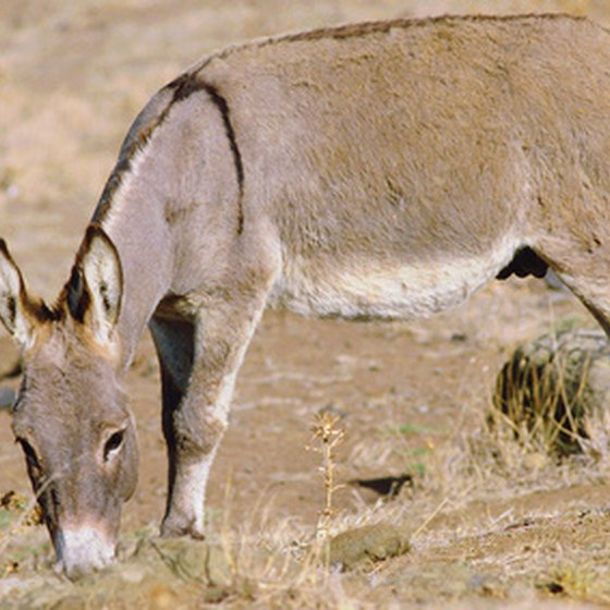 Donkeys were domesticated from the African wild ass thousands of years ago.