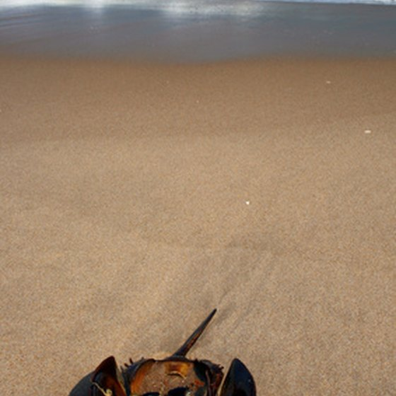 You'll see a horseshoe crab at any beach in Delaware.