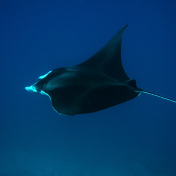 Manta rays are almost a common sight in the Galapagos.