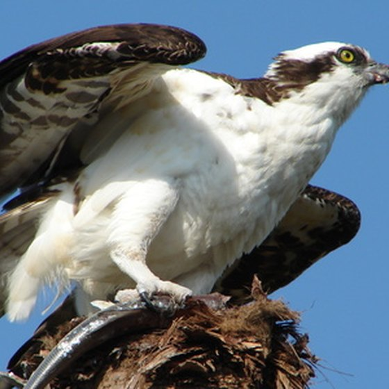 See an osprey at White Oak Lake.