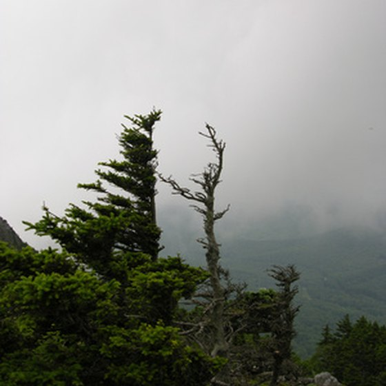 Trees twisted by the wind on Mount Mitchell, tallest east of the Rockies
