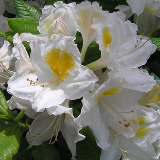 The Fred Hamilton Rhododendron Garden allows visitors to examine a variety of Rhododendrons in a botanical garden setting.