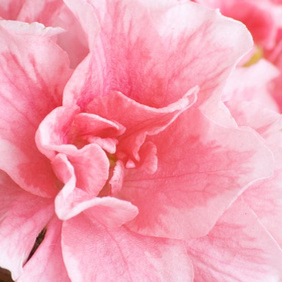 Enjoy a dazzling display of azaleas at Callaway Gardens each spring.