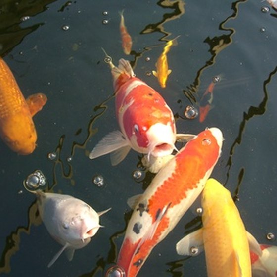 Koi fish are in abundance on the Hawaiian island of Kauai.