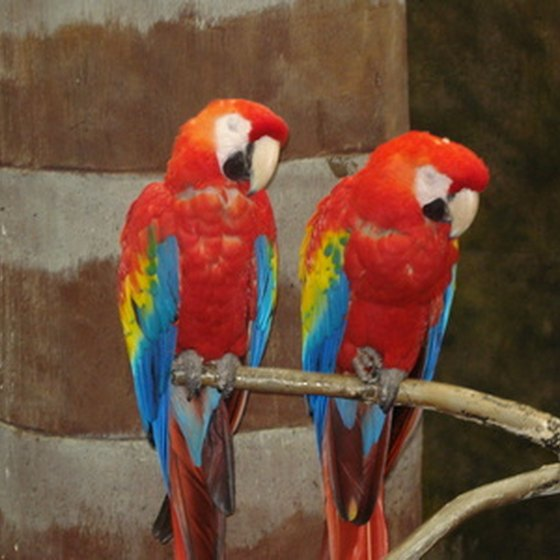 The scarlet macaw, one of the most popular birds to see in Costa Rica.