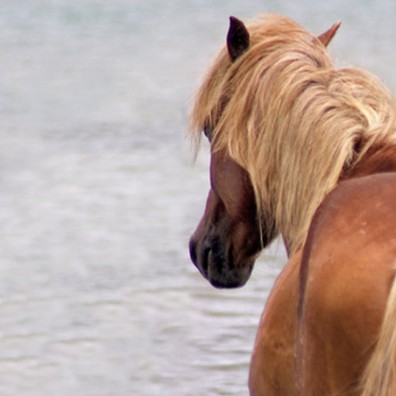 Assateague Island is famous for its wild ponies.