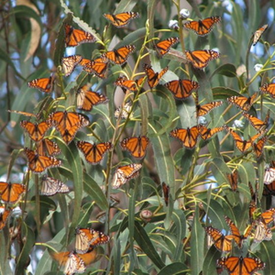 Michoacán in Mexico is currently most famous as the winter resting spot for millions of Monach butterflies.