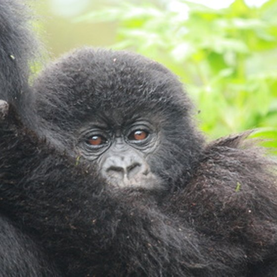 Mountain gorillas, a native species of Uganda.