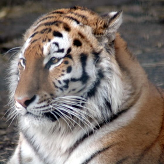 Tigers aren't indigenous to Massachusetts, but you can see them at the zoos.