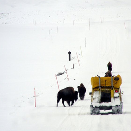 A snow coach passes bison in Yellowstone.