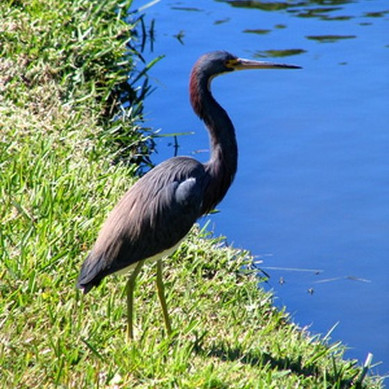 You can see birds such as heron throughout the Louisiana coastal region.