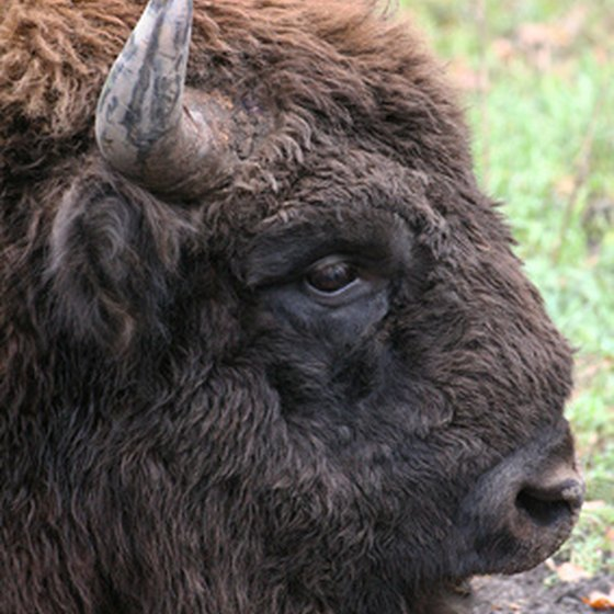 Hunting bison in New Mexico is done on private land and requires no state license.