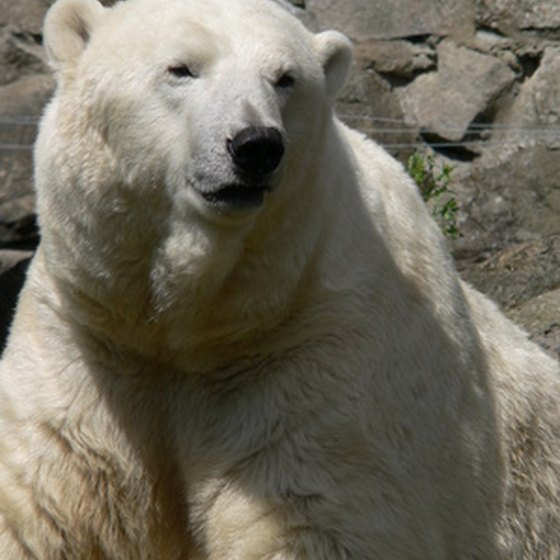 Polar bears might be white, but standard bear precautions apply.