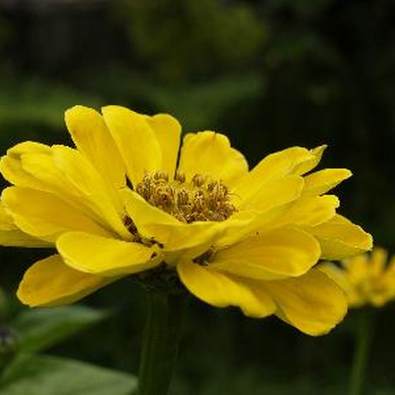 Zinnias are on display at the Matthaei Botanical Gardens.
