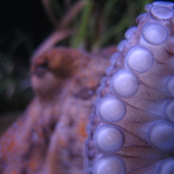 Octopi are known to inhabit Alabama's inshore waters.