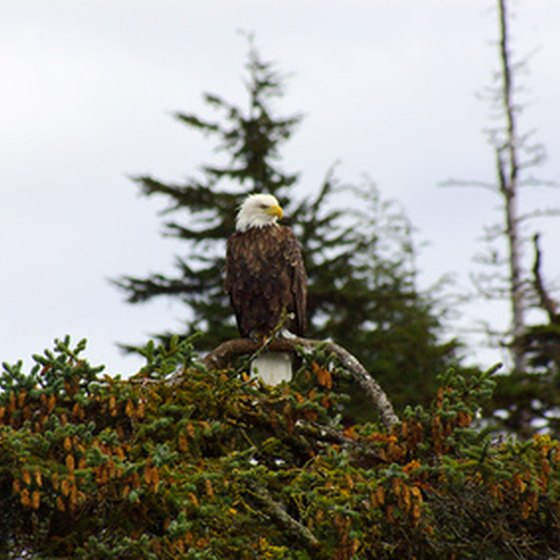 Bald eagles are a common sight in the Valdez area.